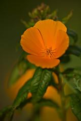 California Poppy (pstenzel71) Tags: natur blumen pflanzen samyang135mm20 samyang135mm2020tc flower bokeh californiapoppy eschscholziacalifornica goldmohn darktable