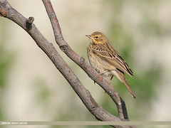 Tree Pipit (Anthus trivialis) (gilgit2) Tags: aliabad avifauna birds canon canoneos7dmarkii category fauna feathers geotagged gilgitbaltistan hunza imranshah location nature ornithology pakistan species tags tamron tamronsp150600mmf563divcusd treepipitanthustrivialis wildlife wings gilgit2 anthustrivialis