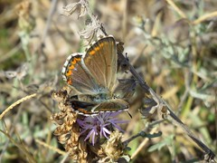 Adonis blue ♀ (Vitaly Giragosov) Tags: lysandrabellargus polyommatusbellargus butterfly insect crimea sevastopol голубянкакрасивая бабочка севастополь крым