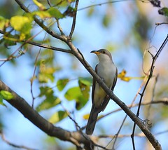 Yellow Billed Cuckoo (picturesinmylife_yls) Tags: cuckoo bird nature fall migration