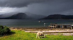 Storm brewing (Phil-Gregory) Tags: glenelg2019 nikon d7200 sigma18250macro scenicsnotjustlandscapes sheep scotland sky cloudscape clouds isleofskye