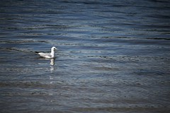 solitary swimmer 2 (EllaH52) Tags: bird seagull gull water river reflections ripples wavelets atmosphere minimalism simplicity