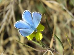 Adonis blue ♂ (Vitaly Giragosov) Tags: lysandrabellargus polyommatusbellargus butterfly insect crimea sevastopol севастополь крым бабочка насекомые голубянкакрасивая