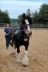 Winston (meniscuslens) Tags: horse horses hounds heroes charity event buckinghamshire aylesbury high wycombe princes risborough shire arena