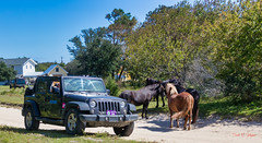 Jeep & Harem (Donald.Gallagher) Tags: 4x4 4x4area animals automobiles bbf black blacklevels blue brown carova clarity colors contrast crop dehaze exposure grass gray green horizontal horses jeep luminance mammals mare nc nature northamerica northcarolina obx outerbanks outerbanx public purple saturation skylumphotolemur3 spanishmustang summer topazdenoiseai typebackbuttonfocus typecolor typelightroom typeportrait typewideangle usa vibrance white whitelevels wrangler