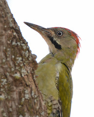 Grey-headed Woodpecker (JDA-Wildlife) Tags: morocco2019 morocco africa atlasmountains nikon nikond7100 tamronsp150600mmf563divc jdawildlife johnny woodpeckers woodpeckergreyheaded greyheadedwoodpecker portrait closeup eyecontact