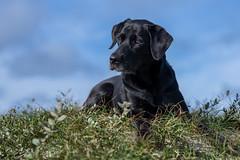 Buddy (The Papa'razzi of dogs) Tags: bluesky blue black pet nature labrador dog sky outdoor buddy clouds hund animal hanstholm northdenmarkregion denmark