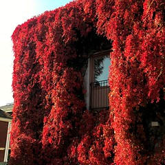Wall of Red Leaves (halleluja2014) Tags: red covered falun virginiacreeper parthenocissus allover röd quinquefolia nybrogatan vildvin autumn nature fantasy 🍁 höst window october