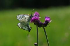 Baumweißling (Aah-Yeah) Tags: baumweisling black veined white aporia crataegi schmetterling butterfly tagfalter paarung marquartstein achental chiemgau bayern