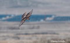 Looking for prey (Photosuze) Tags: birds raptors harriers northernharriers predators avians aves animals nature wildlife flying