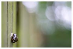 Climbing up the fence (leo.roos) Tags: fence cz cznl natur 50 dier czone 5014 planart1450 planar5014zf czzf czplan bokhnatur solaag nikonf planar5014 fmount darosa leoroos carlzeissplanar1450zf2 fotodioxdlxstretchlensmountadapter snail hek schutting wood a7