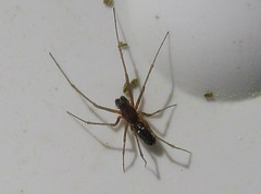 Microlinyphia pusilla (Costan E) Tags: araneae linyphiidae microlinyphia pusilla