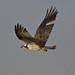 Osprey - Águia-pesqueira
