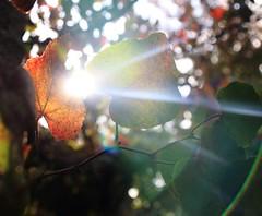 Eclats de vigne... (Tonton Gilles) Tags: vignes fuie des alençon normandie éclat de soleil rayons contrejour bokeh rouge orangé vert feuilles photo rapprochée proxiphoto proxiphotographie