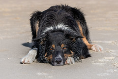 Laying in sand (The Papa'razzi of dogs) Tags: animal dog bordercollie outdoor yatzy nature pet hund hanstholm northdenmarkregion denmark