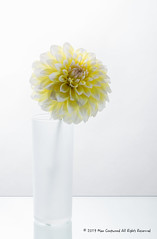 _T3A9923-1 (M Coopwood) Tags: dahlia flower yellow glass vase