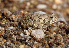 Fowler's Toad (annette.allor) Tags: