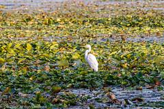 Great Egret 6 (DL_Dietz) Tags: birds canoneos5dmarkiv egrets greategret kensingtonmetropark livingstoncounty michigan nature naturephotography northamerica summer unitedstates wildlife wildlifephotography wildwinglake
