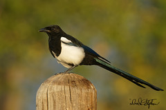 Magpie Poses In Evening Light (dcstep) Tags: cherrycreekstatepark colorado usa sonya9 fe600mmf4gmoss handheld allrightsreserved copyright2019davidcstephens dxophotolab magpie blackbilledmagpie bird post dsc6923dxo