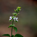 October basil blossom