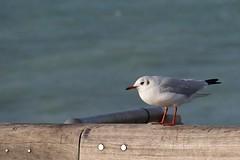 mouette rieuse (chroicocephalus ridibundus) en plumage internuptial (pierre.pruvot2) Tags: calais hautsdefrance panasoniclumixg9 mouette gull bird oiseau mer sea pier jetée