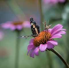 Bordered Patch & friend (nwitthuhn) Tags: butterfly borderedpatch coneflower echinacea macro
