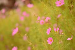 Alegre primavera (su-sa-ni-ta) Tags: enfoque desenfoque argentina flores primavera cordoba colores octubre2019 mundo fotogrtafias nature colorful flowers rosa pink