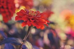 No Autumn Here (Hi-Fi Fotos) Tags: warm summer sun flower pretty nature color plant orange red yellow bright bokeh nikkor 105mm micro nikon d7200 dx hififotos hallewell