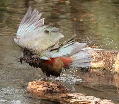 Kea..... (flying-leap) Tags: newzealand wildlife christchurch kea alpineparrot parrot sonydscrx10m4 sonydscrx10iv wildlifenz birdendemic willowbankwildlifereserve keanestornotabilis