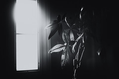 Wanna feel alive outside, I can fight my fear (Sarah Rausch) Tags: windowwednesday rikenon5514 monochrome mono blackandwhite window pachiraaquatica houseplant glow hww depth radioactive leaves contrasty lookslikefilm mood moody sony dark dreamy someneedthelightandsomepeoplelikethedark