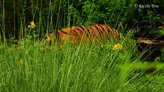 Tall Grass Burning Bright (Raj the Tora) Tags: jaipur nagargarh nagargarhzoo zoo tiger pantheratigris panthera tigris tigers royalbengaltiger tigersontheprowl predatoronprowl predator nature wildlife wild cat bigcat feline felines