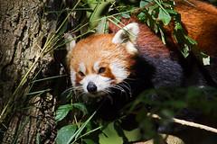 Red panda (Ailurus fulgens) - Paignton Zoo, Devon - Sept 2019 (Dis da fi we) Tags: paignton zoo devon red panda ailurus fulgens