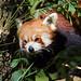 Red panda (Ailurus fulgens) - Paignton Zoo, Devon - Sept 2019