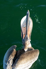 Brown Pelican Catching (dbadair) Tags: outdoor seaside dennis adair sea sky water nature wildlife 7dm2 7d ii ef100400mm ocean canon florida bird
