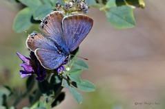 Canela estriada (ajmtster) Tags: macrofotografía macro insectos invertebrados mariposas lepidopteros licenidos lampidesboeticus macho male amt butterfly butterfies papillon farfalle anverso lycaenidae