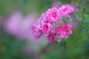 Roses for my sweeheart (Baubec Izzet) Tags: pentax baubec izzet flowers roses autumn nature