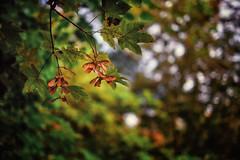 autumn colors (Fichtenelch69) Tags: ahorn samen herbst autumn depthoffield dof sankelmark wald wood forest laub leaf colors fujifilm bokeh schleswigholstein maple wabisabi haiku haikufotografie