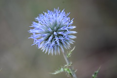 Echinops ritro (esta_ahi) Tags: fontrubí penedès barcelona spain españa испания echinops ritro echinopsritro asteraceae compositae flor flora flores silvestres blue cardoyesquero