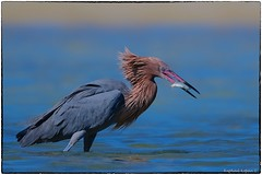 Reddish Egret (RKop) Tags: fortdesotostatepark florida raphaelkopanphotography d500 600mmf4evr
