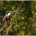 Ringed Kingfisher - Amerikaanse reuzenijsvogel (Megaceryle torquata) ....