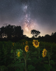 Sunflowers and Milky Way (Derek Boen) Tags: sussexcounty newjersey sunflowers sunflowerfield milkyway nightscape night pentax sirui pentaxk1