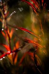 Time for the leaves to shine (tonguedevil) Tags: outdoor outside countryside autumn nature field sunrise red bokeh plants leaves colour light shadows sunlight