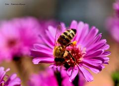 Bee in an autumn flower (Patricia Buddelflink) Tags: flower bee aurumn garden nature insect