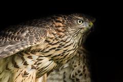 Juvenile Goshawk (robin elliott photography) Tags: goshawk goshawks bird birds biirdwatch outdoors outside wild wildlife nikon nikond850