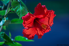 Tropical Red Hibiscus (Yvonne Oelsner Photography) Tags: exotic harmony nature flower plant colors summer red green blue flora garden contrast tropical macro closeup hibiscus