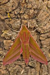 1991-_W4A0060 Elephant Hawk-moth (Deilephila elpenor) (ajmatthehiddenhouse) Tags: moth uk garden stmargaretsatcliffe kent 2018 sphingidae deilephilaelpenor deilephila elpenor elephanthawkmoth