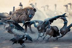Eating Envy 1 (HansenBenHansen) Tags: sony sonyalpha7iii sonya7iii a7iii a7 alpha7iii alpha7 sony⍺7markiii ⍺7iii ⍺7 sony⍺7 sonyalpha7 ilce7 emount fullframe 7iii ⍺7markiii ilce7iii sony⍺7iii ilce vollformat africa afrika sambia zambia southluangwanp nationalpark wildlife luangwa sony100400gmoss geier vulture hyäne hyena