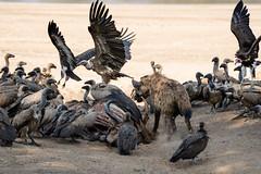 Eating Envy 3 (HansenBenHansen) Tags: sony sonyalpha7iii sonya7iii a7iii a7 alpha7iii alpha7 sony⍺7markiii ⍺7iii ⍺7 sony⍺7 sonyalpha7 ilce7 emount fullframe 7iii ⍺7markiii ilce7iii sony⍺7iii ilce vollformat africa afrika sambia zambia southluangwanp nationalpark wildlife luangwa sony100400gmoss geier vulture hyäne hyena