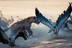 Eating Envy 4 (HansenBenHansen) Tags: sony sonyalpha7iii sonya7iii a7iii a7 alpha7iii alpha7 sony⍺7markiii ⍺7iii ⍺7 sony⍺7 sonyalpha7 ilce7 emount fullframe 7iii ⍺7markiii ilce7iii sony⍺7iii ilce vollformat africa afrika sambia zambia southluangwanp nationalpark wildlife luangwa sony100400gmoss geier vulture hyäne hyena