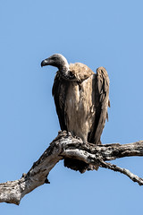 Vulture (HansenBenHansen) Tags: sony sonyalpha7iii sonya7iii a7iii a7 alpha7iii alpha7 sony⍺7markiii ⍺7iii ⍺7 sony⍺7 sonyalpha7 ilce7 emount fullframe 7iii ⍺7markiii ilce7iii sony⍺7iii ilce vollformat africa afrika sambia zambia southluangwanp nationalpark wildlife luangwa sony100400gmoss geier vulture hyäne hyena
